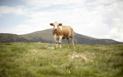 Das Beste aus den Alpen: Heimisches Almrind